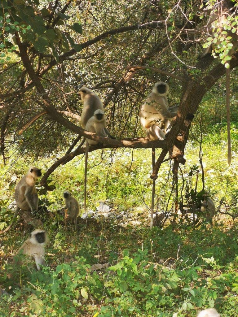 Des singes nous guettent dans un arbre