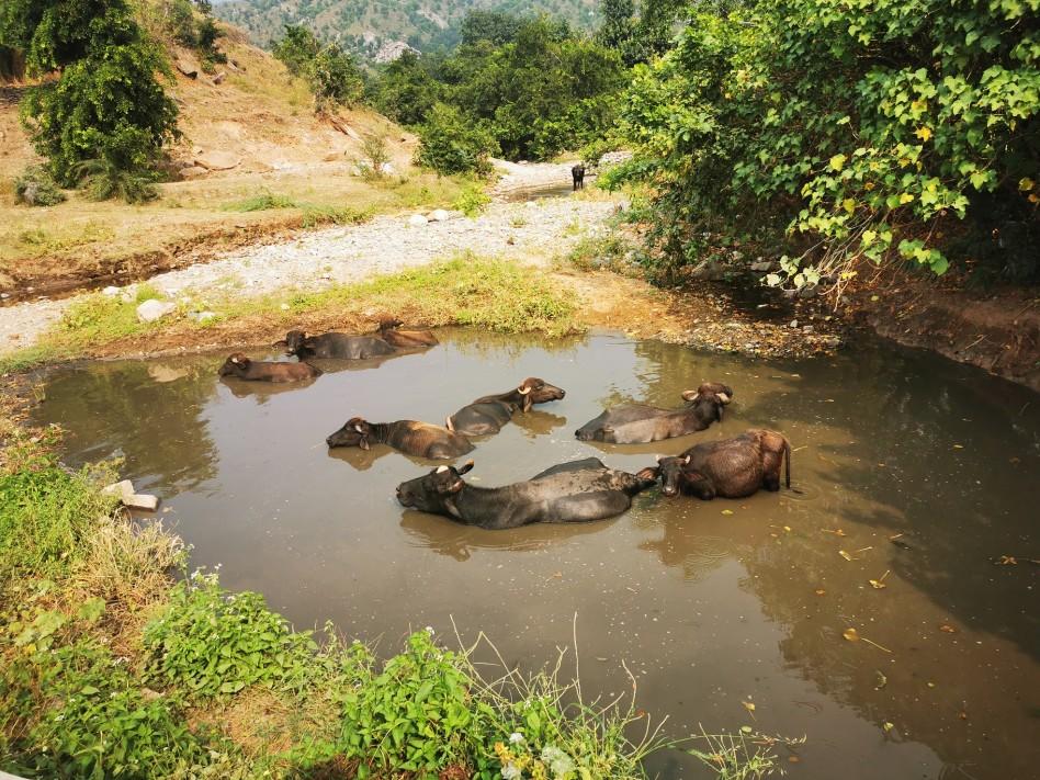 Un troupeau de vaches se baigne dans une mare