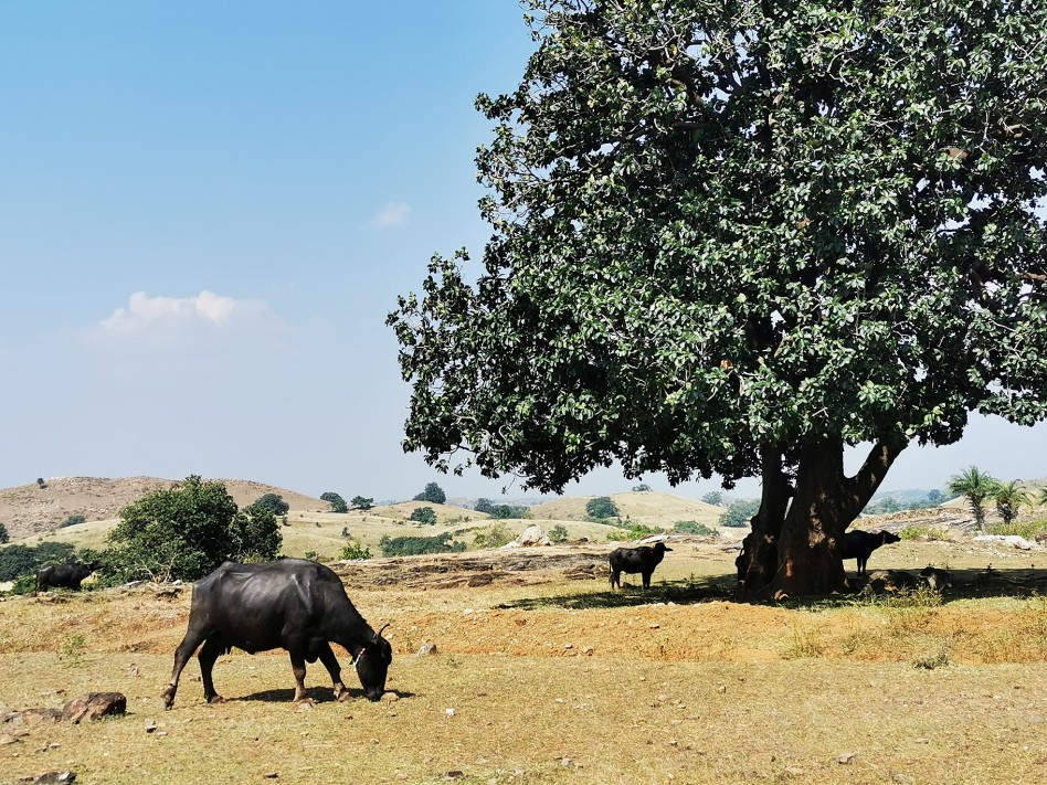 Un troupeau de vaches cherche de l'ombre