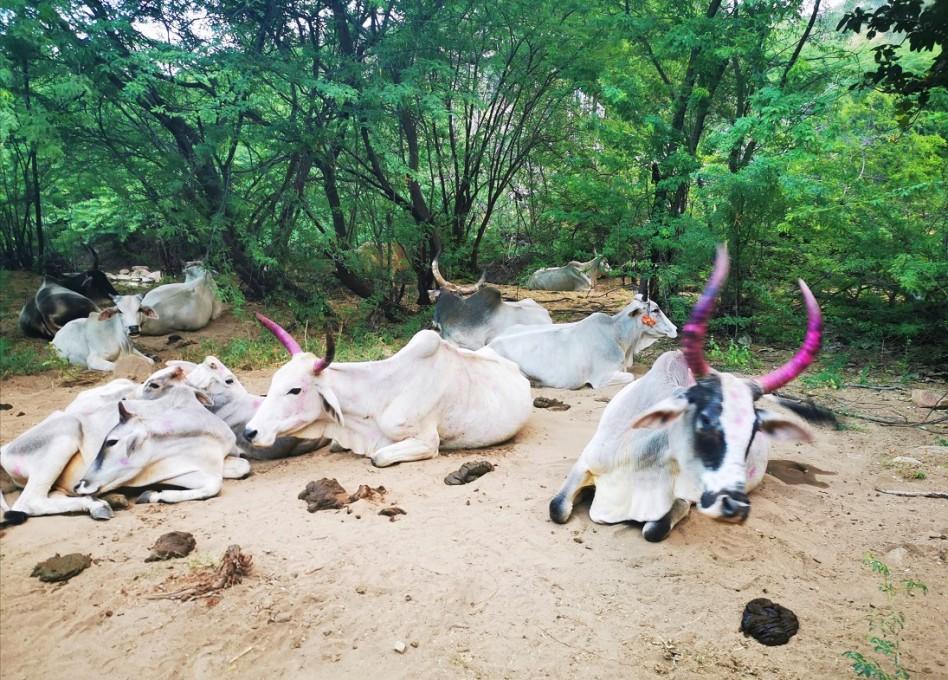 Troupeau de vaches sacrées sur les sentiers. Elles sont blanches avec des cornes roses.